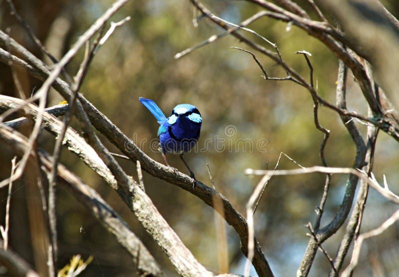 ptasi błękitny strzyżyk zdjęcia royalty free