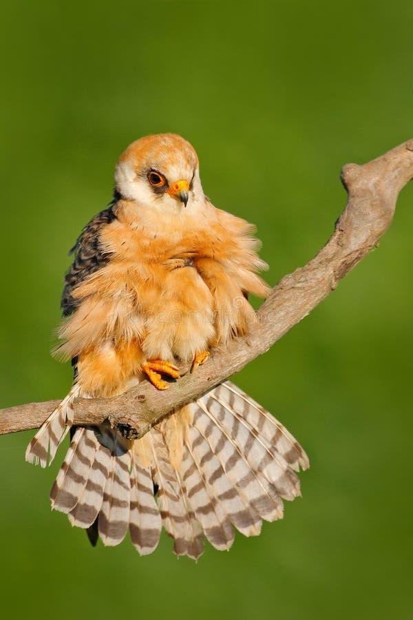 Ptasi cleaning ogonu upierzenie Footed jastrząbek, Falco vespertinus, ptasi obsiadanie na gałąź z jasnym zielonym tłem, cleaning  zdjęcia royalty free
