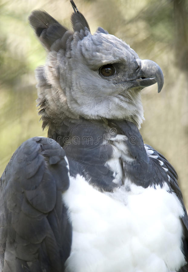 ptasi costa orła jastrząbka grey harpy jastrzębia rica obraz stock