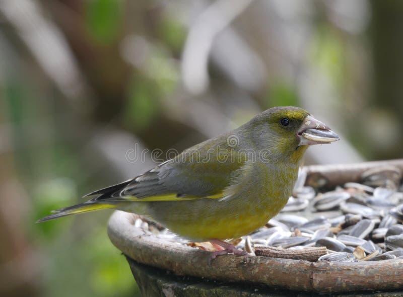 Ptasi czyżyk zdjęcie stock