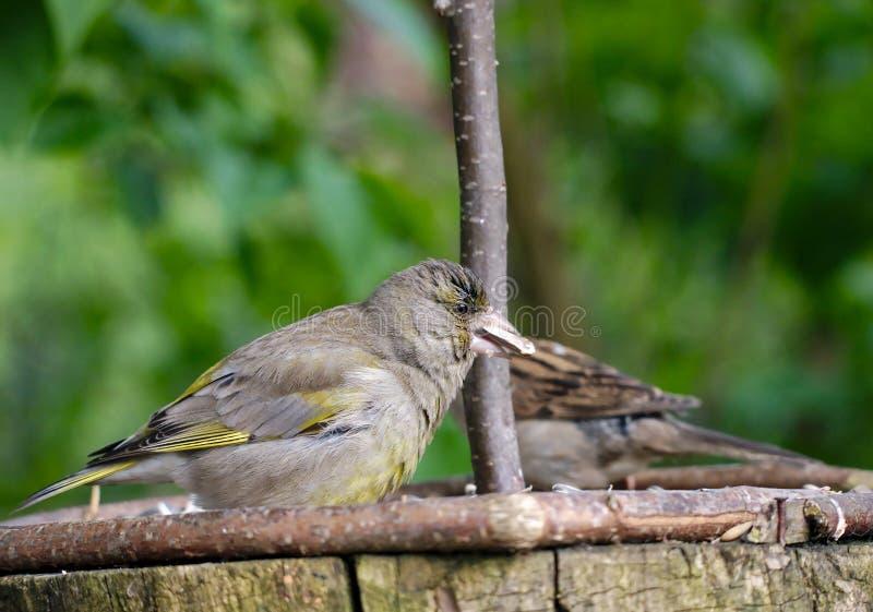 Ptasi czyżyk fotografia stock