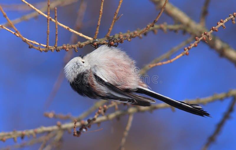 Ptasi Długoogonkowy tit lub Długoogonkowi bushtit Aegithalos caudatus karmazynki gromadzenia się karmowi na modrzewiowych gałąź obrazy royalty free