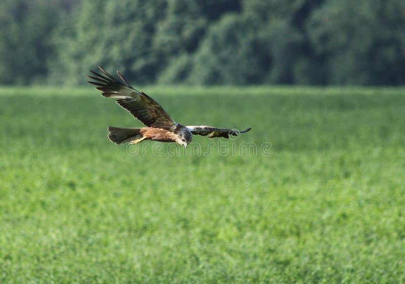 Ptasi dopatrywanie dla zdobycza obrazy royalty free