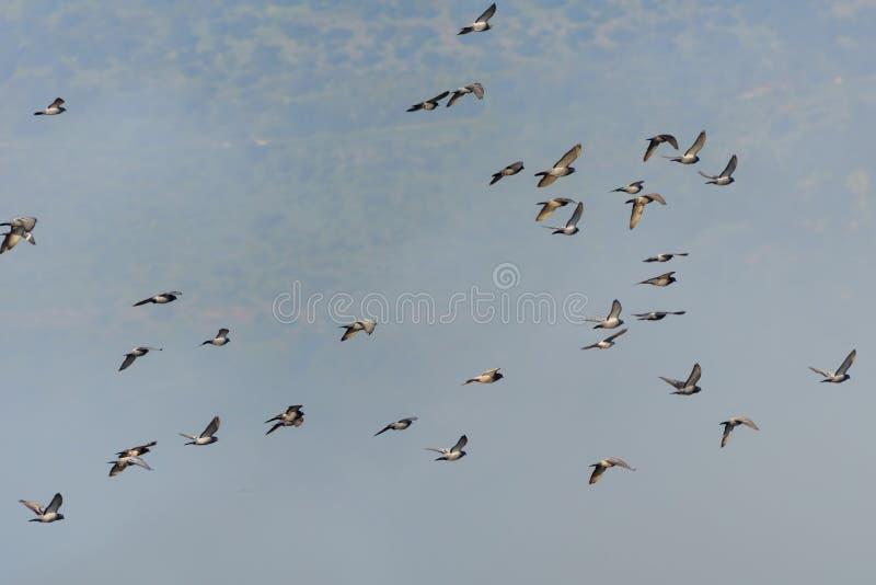 Ptasi dopatrywanie w ptaków Naturalnych siedliskach, Hula dolina w Izrael Kierdle ptaki migrujący w niebie cloud jab?ko kwiaty ob fotografia royalty free