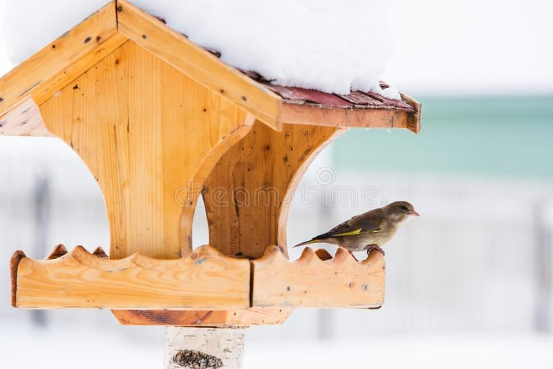 Ptasi dozownik z Europejskim greenfinch w zimie fotografia royalty free