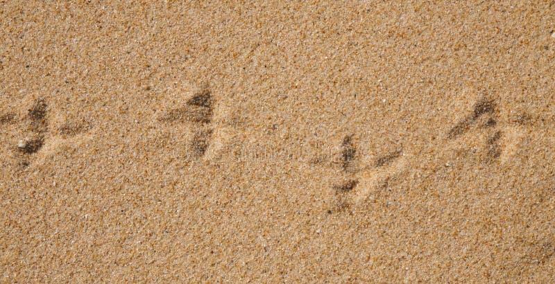 Ptasi druki na mokrym piasku plaża obrazy royalty free