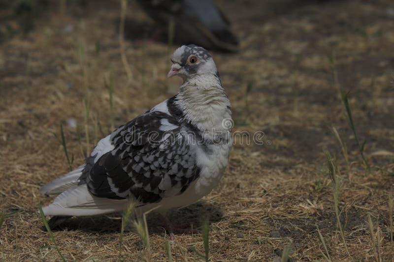 Ptasi dziki gołąb fotografia royalty free