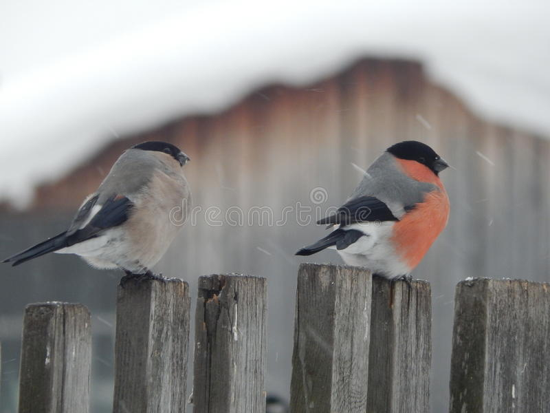 Ptasi gil w dzikim zdjęcia royalty free
