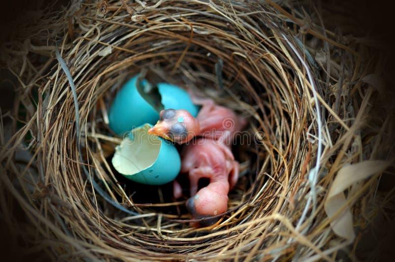 Ptasi gniazdowy jajko zdjęcia royalty free