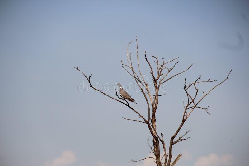 Ptasi gołąb na drzewie obraz stock