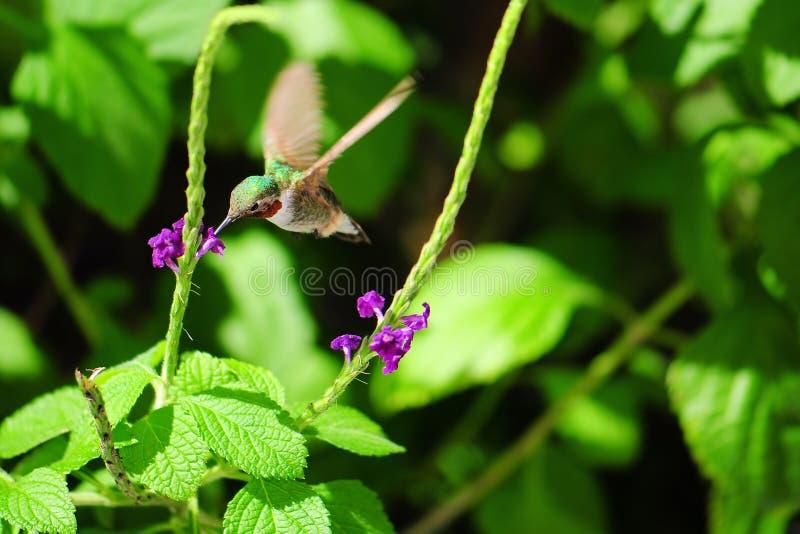 ptasi hummingbird ptasi rubin obrazy royalty free
