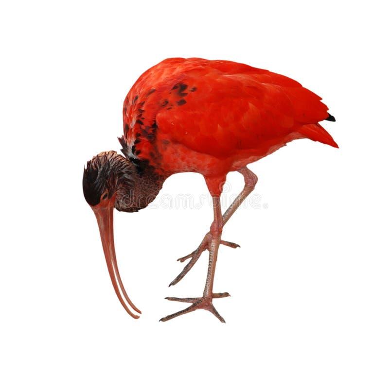 ptasi ibisa czerwieni szkarłat zdjęcia stock