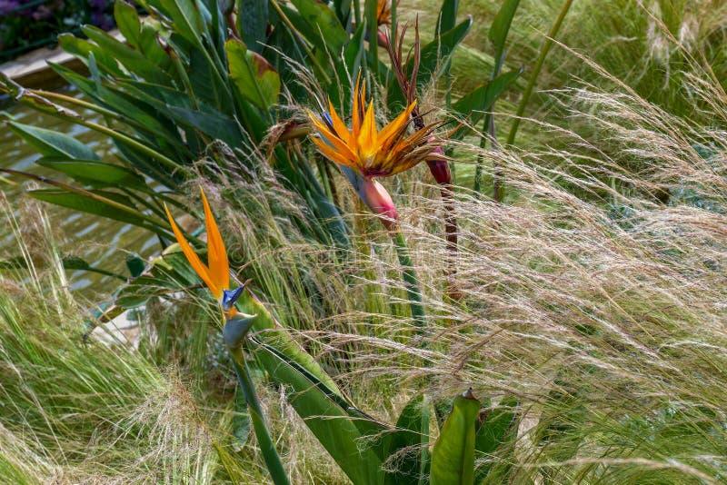 ptasi kwiatu raju reginae strelitzia zdjęcie royalty free