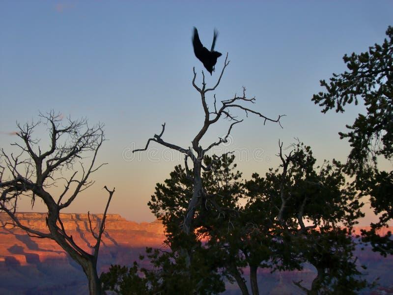 Ptasi lądowanie dalej nakrywa drzewa przy Grand Canyon zdjęcia royalty free