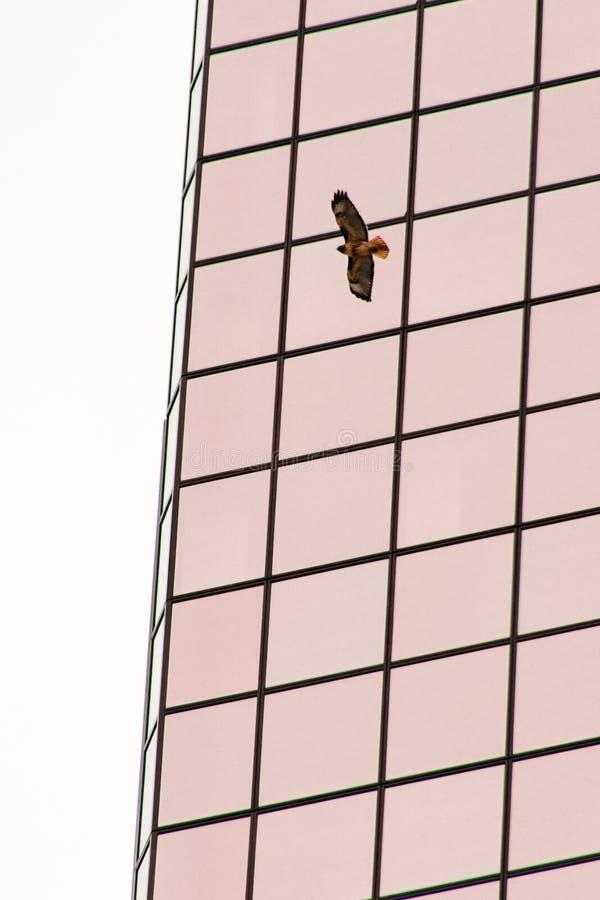 Ptasi latanie obok wysokiego szklanego drapacz chmur z białym tłem obrazy stock