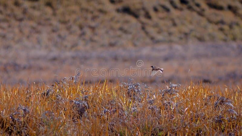 Ptasi latanie przy trawy polem zdjęcia stock