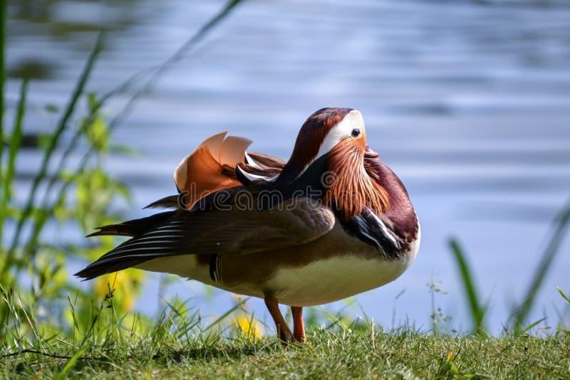 Ptasi mandaryn zdjęcia stock