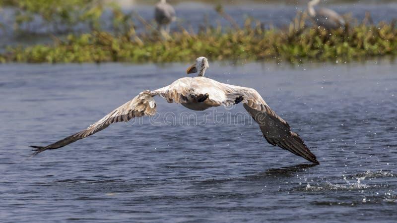 Ptasi narządzanie lądować na wodzie zdjęcie royalty free