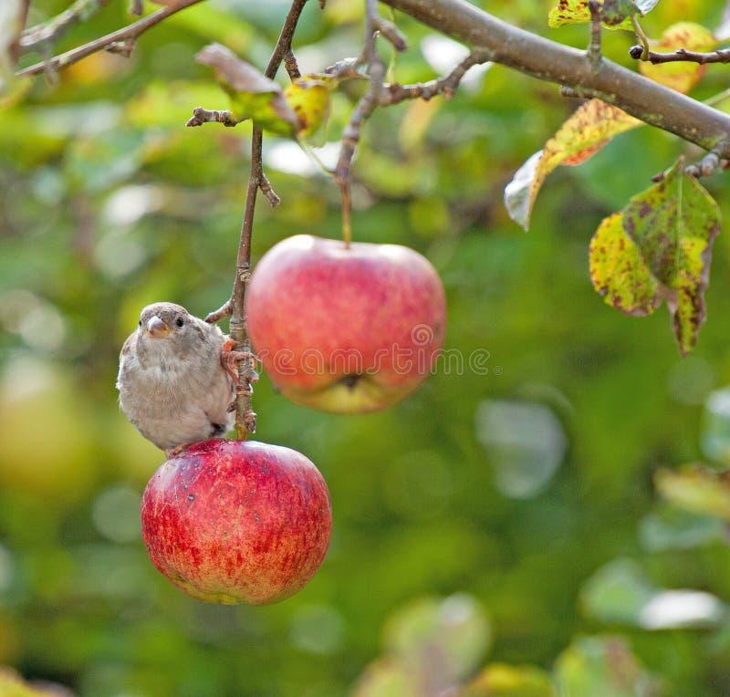 Ptasi obsiadanie na czerwonym jabłku fotografia royalty free