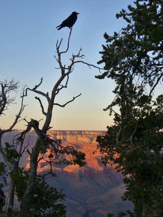Ptasi obsiadanie na górze drzewa nad Grand Canyon obraz stock