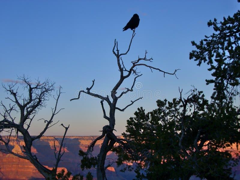 Ptasi obsiadanie na górze drzewa nad Grand Canyon zdjęcie stock