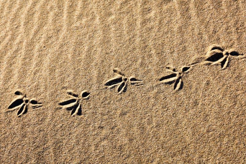 Ptasi odciski stopy w plażowym piasku obraz royalty free