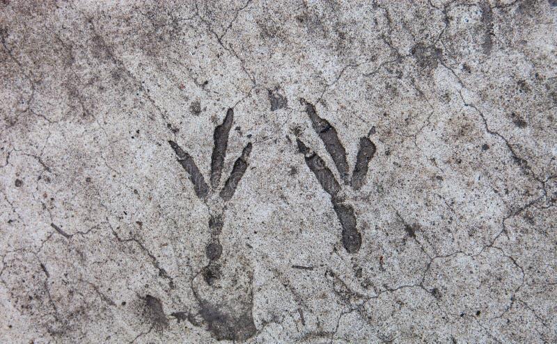 Ptasi odciski stopy wzmacniający na betonowej powierzchni obraz royalty free