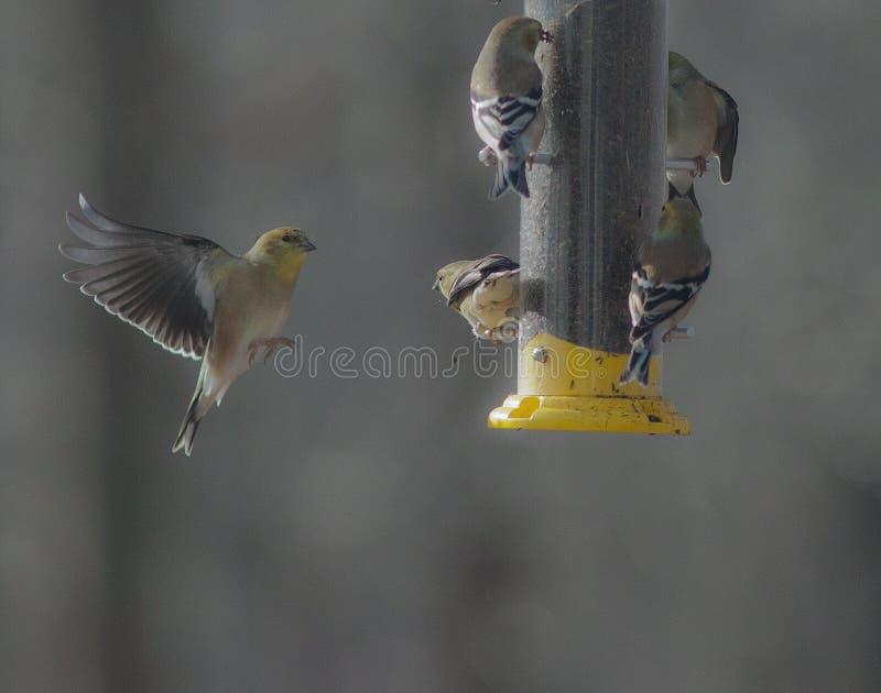 Ptasi pegaz--Amerykański szczygieł w locie zdjęcia royalty free