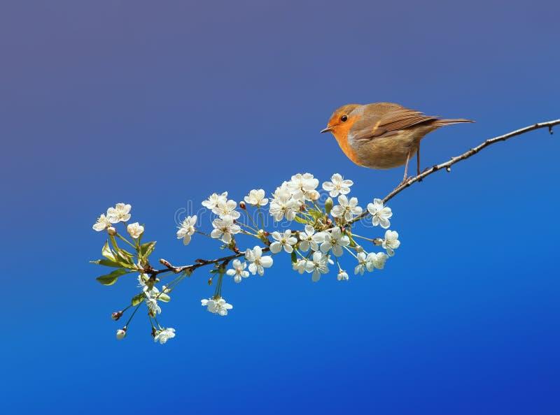 ptasi rudzika obsiadanie w może skakać ogród dalej fotografia royalty free