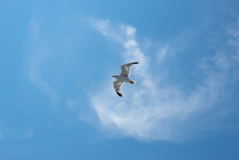 Ptasi seagull nad morzem pod niebieskim niebem zdjęcia stock