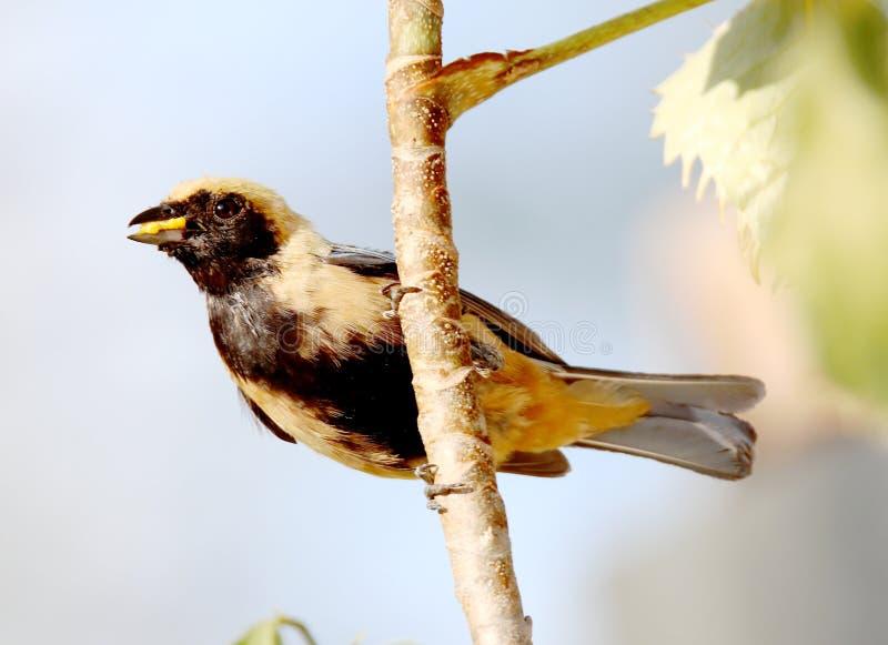 Ptasi tangara cayana na gałąź z jedzeniem w belfrze obrazy royalty free