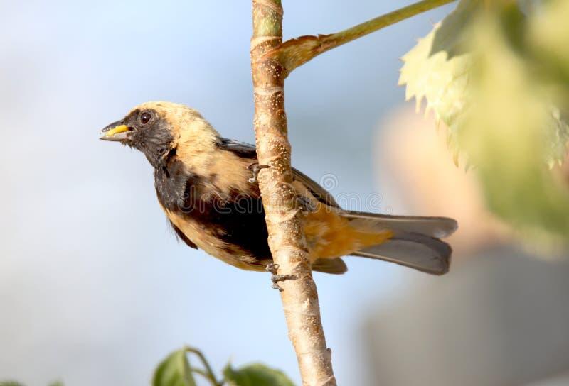 Ptasi tangara cayana na gałąź z jedzeniem w belfrze fotografia royalty free