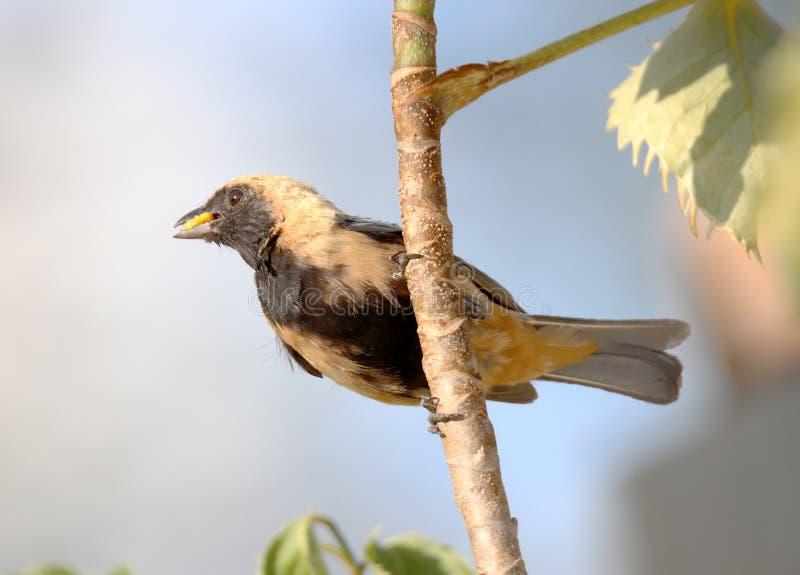 Ptasi tangara cayana na gałąź z naturalnym tłem obrazy royalty free