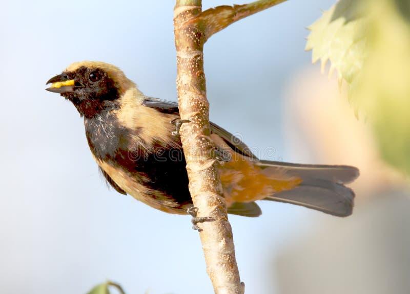 Ptasi tangara cayana przewożenia jedzenie w gniazdeczku fotografia stock
