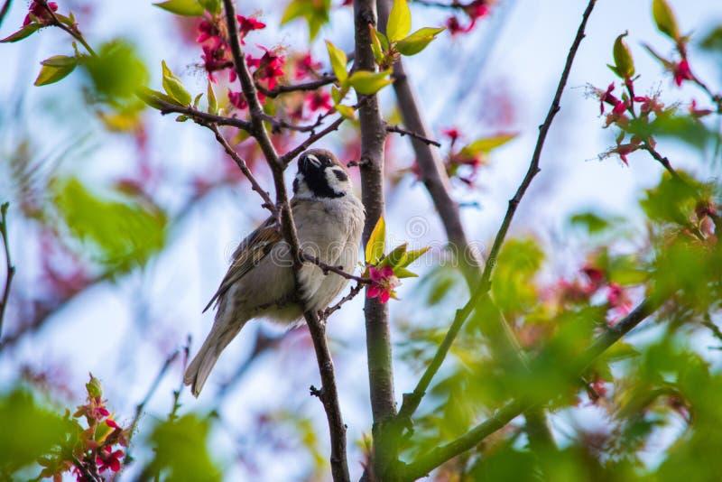 Ptasi Wróbli obsiadanie na gałąź kwiatonośnego drzewa morela Ptaka Zamkni?ty Up zdjęcie stock