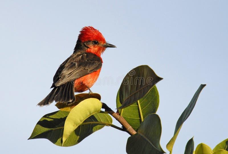ptasia czerwony obrazy stock