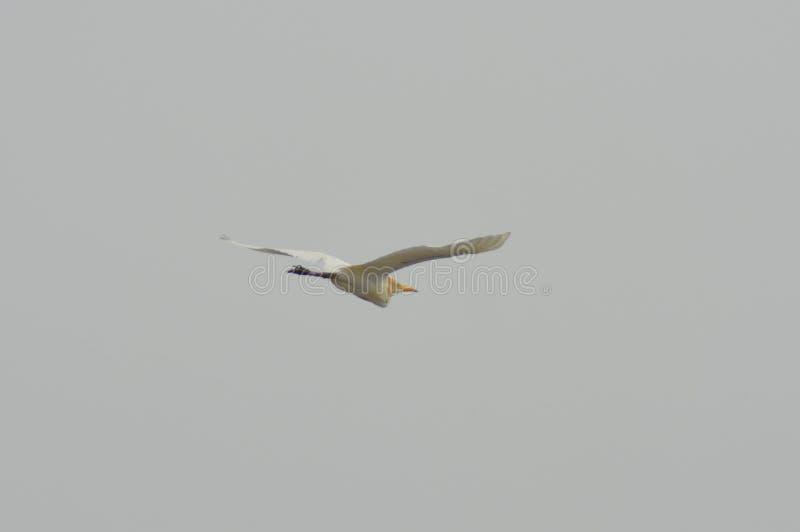 Ptasia latająca wysokość w powietrzu zdjęcia stock