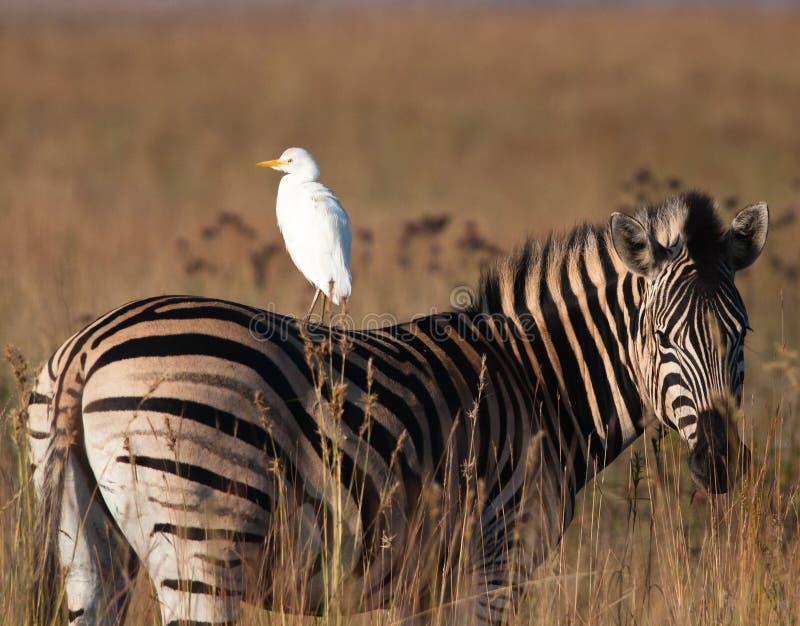 ptasia napędowa zebra zdjęcie royalty free