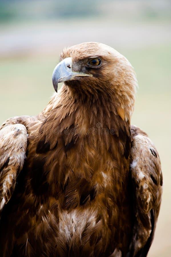 ptasiego orła złoty zdobycz obraz royalty free