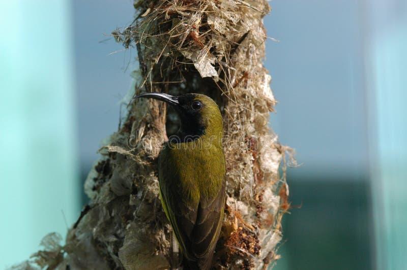 ptaszek gniazd ptaków zdjęcia stock