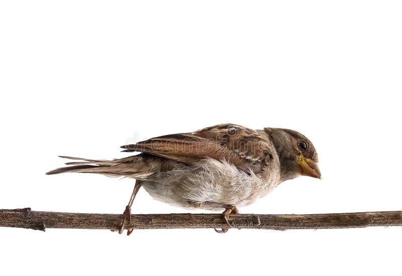 Ptasznik różowy wyizolowany. Sparrow samica songbird Passerdae, Passer domesticus perching na suchej Å'odydze sÅ'onecznika wyciÄ obraz royalty free