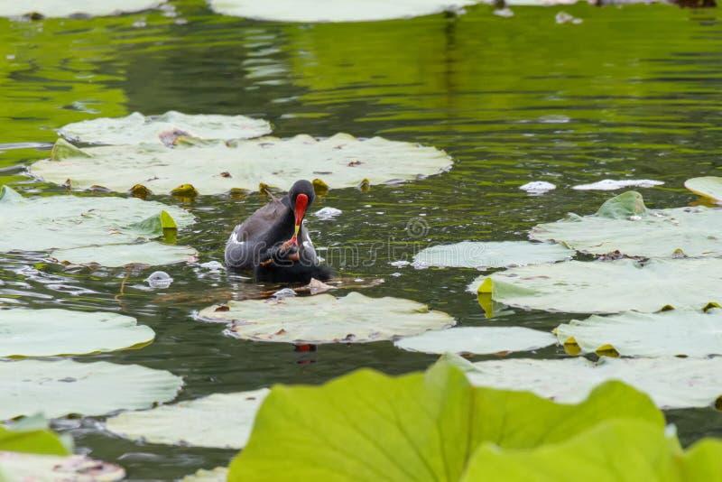 Ptasznik zwyczajny zdjęcia stock