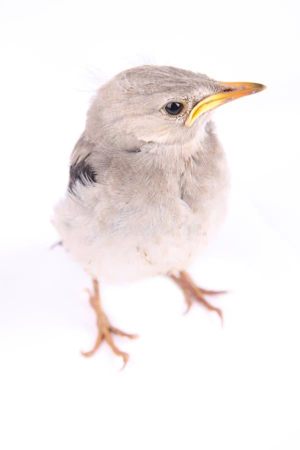 Ptaszyna żywa Fotografia Stock
