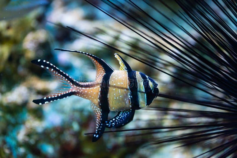 Pterapogon kauderni - Banggai cardinalfish στοκ φωτογραφίες με δικαίωμα ελεύθερης χρήσης