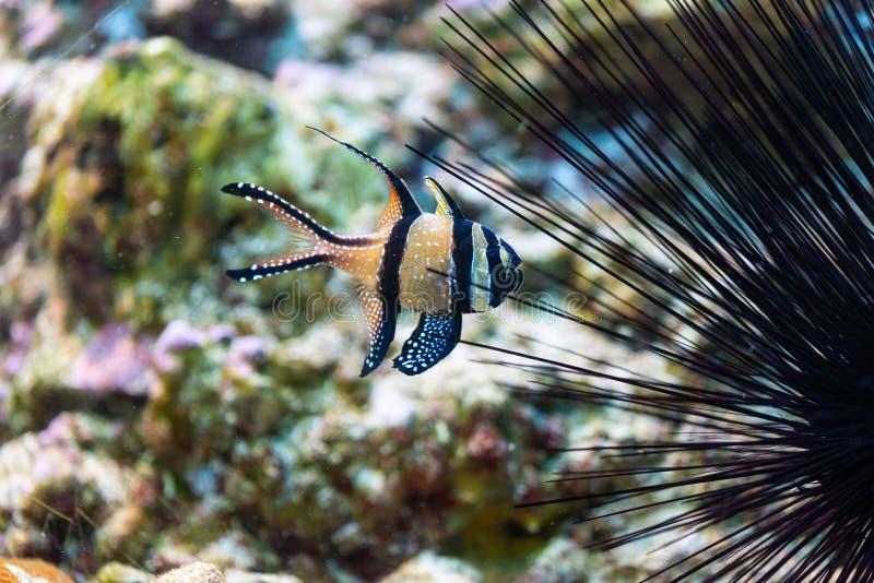 Pterapogon kauderni - Banggai cardinalfish στοκ εικόνα