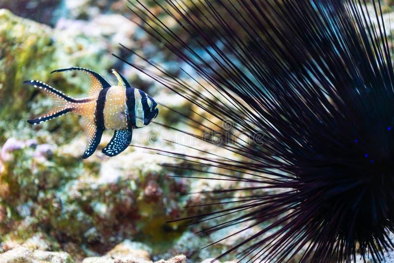 Pterapogon kauderni - Banggai cardinalfish στοκ φωτογραφίες