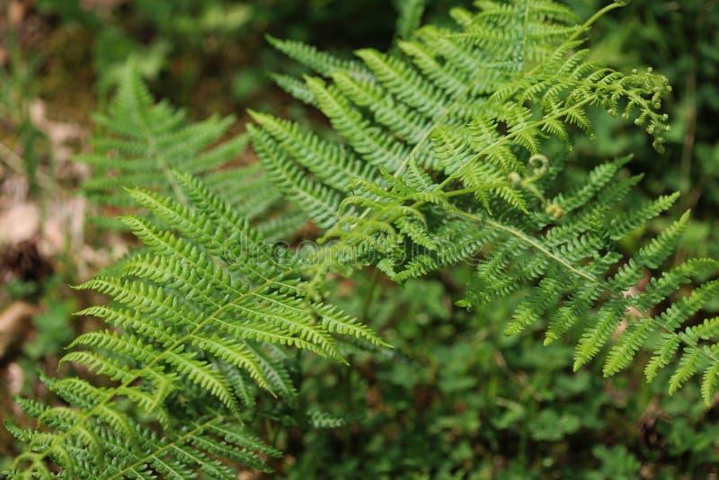 Pteridium aquilinum royalty free stock photo