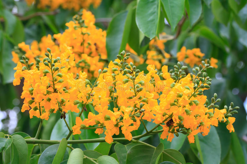 Pterocarpus indicus. Blooming on tree stock image
