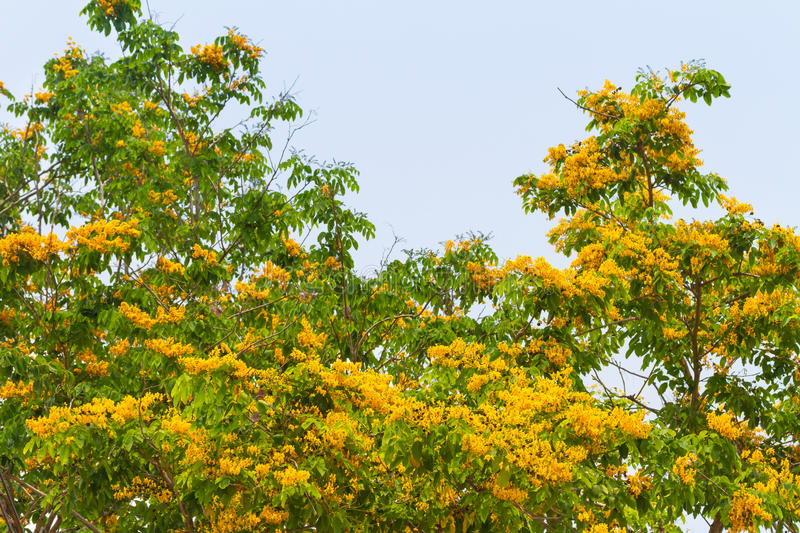 Pterocarpus indicus. Blooming on tree stock photos