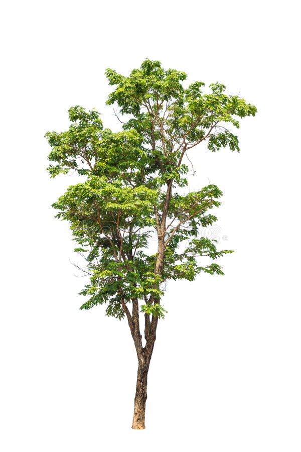 Pterocarpus indicus tree. Pterocarpus indicus known by several common names, including Amboine, Pashu Padauk, Malay Paduak, New Guinea Rosewood, tropical tree in stock image